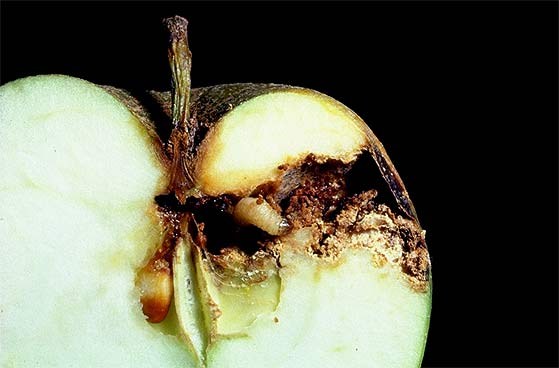 A halved apple with a codling moth grub near the core. The grub has eaten its way through the apple from the side to the core. Isolated grub droppings can be seen in the feeding tunnel.