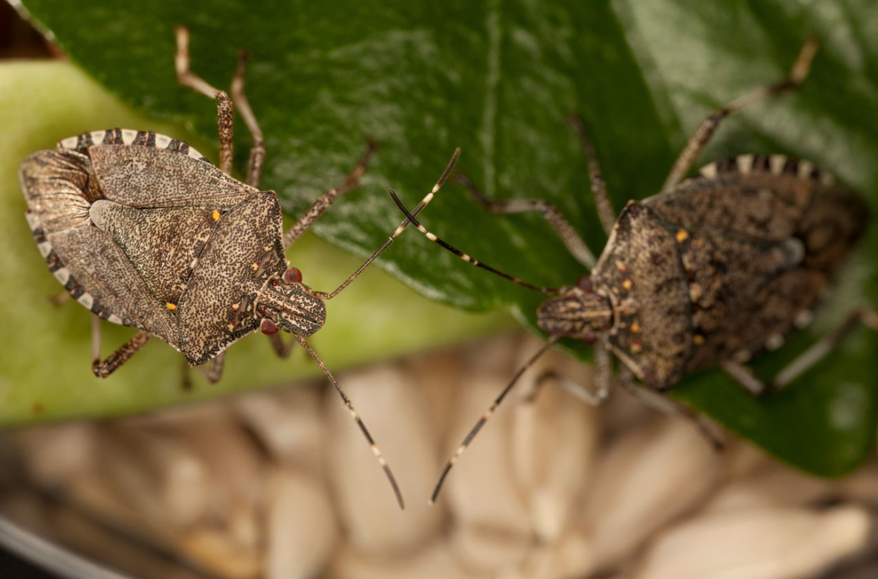 Two brown marmorated stink bugs (Halyomorpha halys) sit on a green leaf.